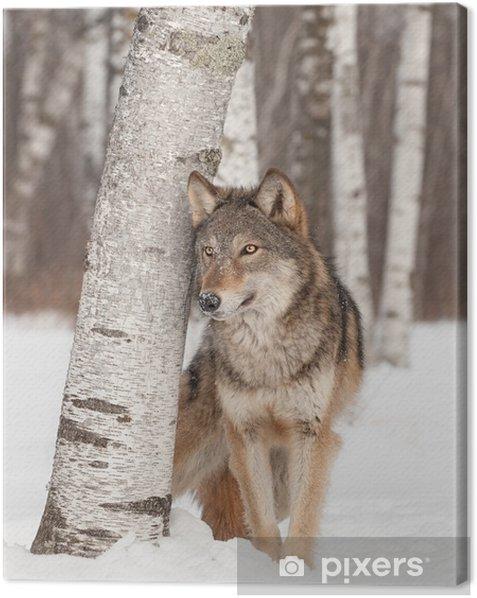 Tableau sur toile Loup gris (Canis lupus) est à côté de Bouleau - Thèmes