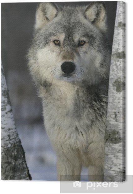 Tableau loup gris nature 3 tableaux sur toile loup gris canis lupus