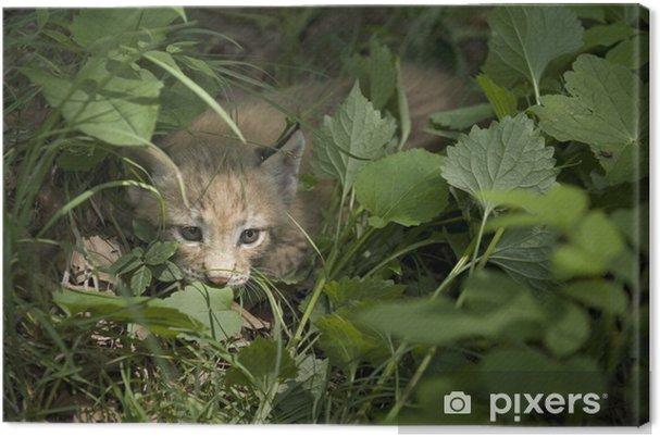 Tableau sur toile Lynx, chaton de lynx, enfant de lynx - Mammifères