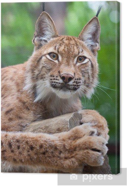 Tableau sur toile Lynx contre la zone de nature sauvage - Mammifères