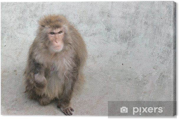 Tableau gorille couleur 5 tableaux sur toile macaque japonais