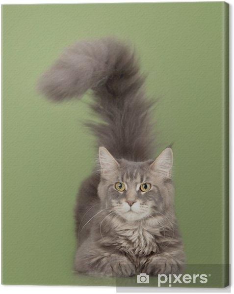 Tableau sur toile Maine coon chat - Mammifères