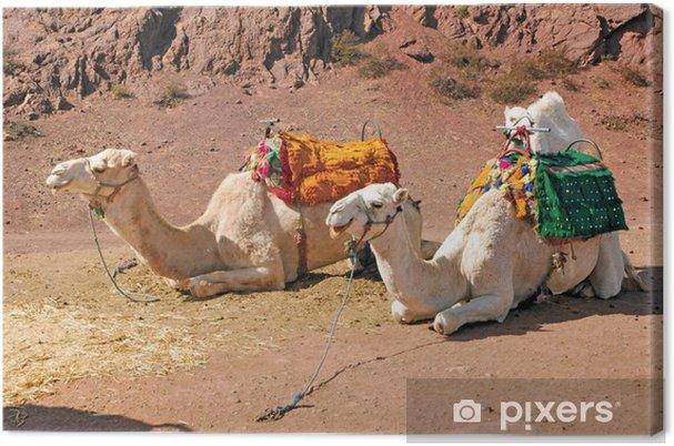 Tableau sur toile Maroc, Marrakech: Chameaux - Mammifères