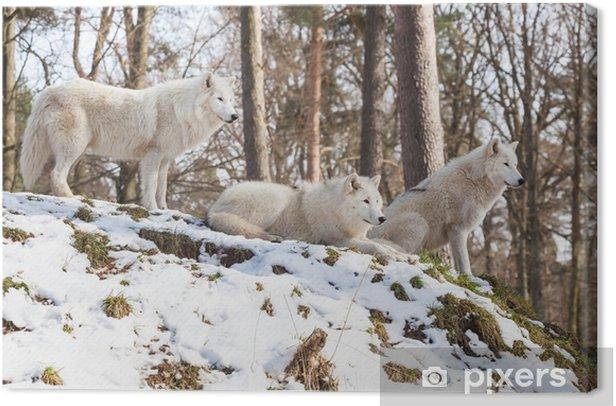 Tableau sur toile Meute de loups arctiques sur une colline en hiver - Mammifères