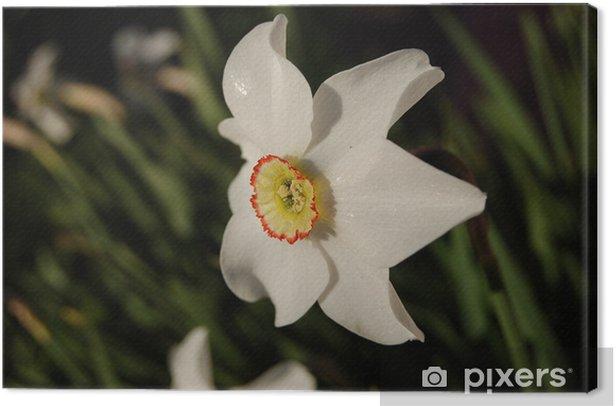 Tableau sur toile Narcisse hybridus - Fleurs