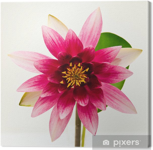 tableau sur toile n nuphar sur belle fleur blanche. Black Bedroom Furniture Sets. Home Design Ideas