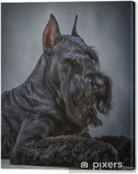 Tableau sur toile Noir Schnauzer Dog - Mammifères