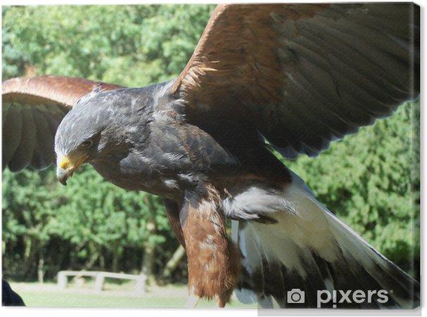Tableau sur toile Oiseau de proie chasseur, faucon de harris - Religion