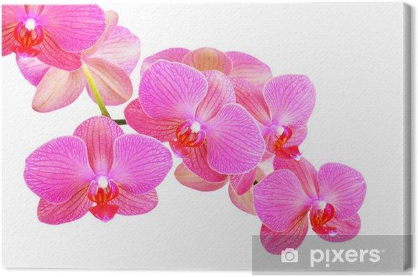 Tableau Sur Toile Orchidee Rose Fleur Isolee Sur Fond Blanc