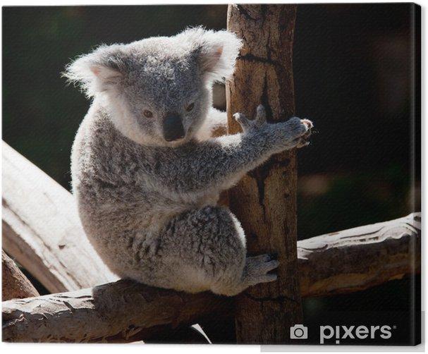 Tableau sur toile Ours de koala câlins sur une branche - Océanie
