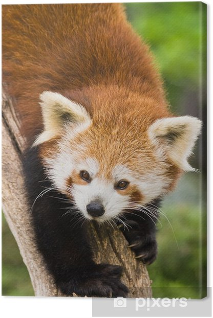 Tableau sur toile Panda rouge dans l'arbre - Mammifères