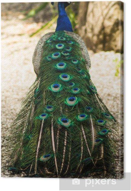Tableau sur toile Pavone - Oiseaux