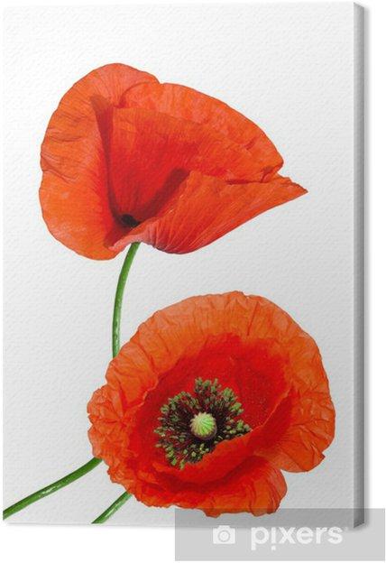 Tableau sur toile Pavot rouge isolé sur fond blanc - Fleurs