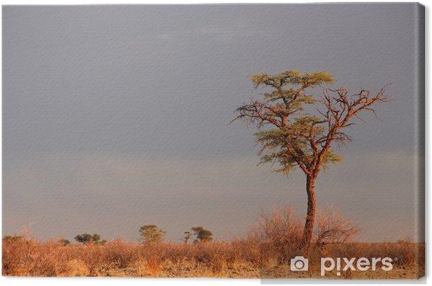 Tableau sur toile Paysage avec un camelthorn Acacia (Acacia erioloba), désert du Kalahari, Afrique du Sud - Arbres