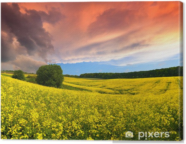 Tableau sur toile Paysage enchanteur d'été avec un champ de fleurs jaunes. Coucher de soleil - Campagne