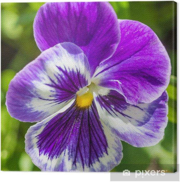 Tableau sur toile Pensée pourpre - Fleurs