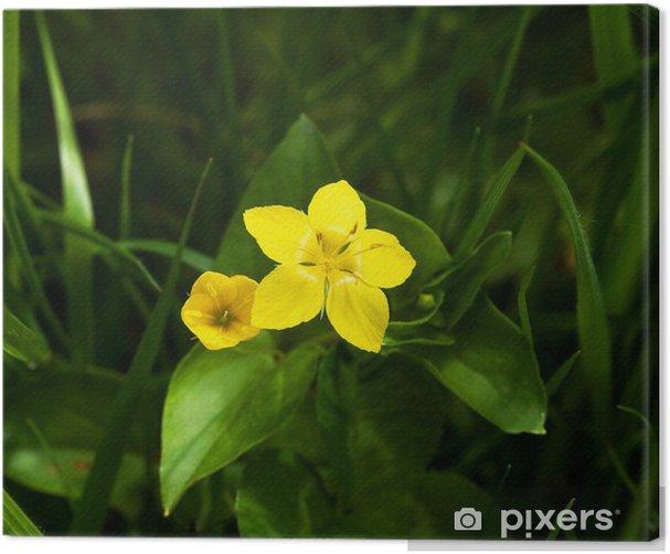 Tableau sur toile Pimpernel jaune - Fleurs