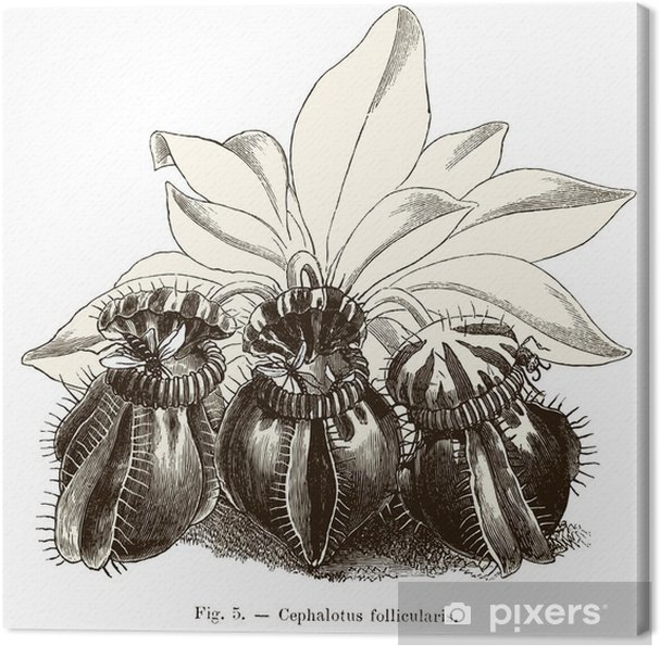 Tableau sur toile Plantes carnivores: Cephalotus follicularis - Plantes