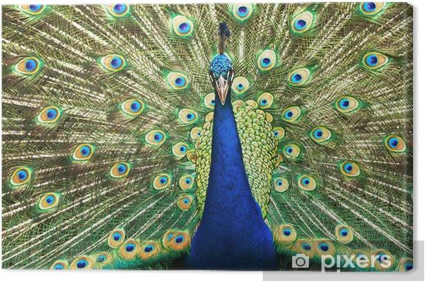 Tableau sur toile Portrait de beau paon avec des plumes sur - Oiseaux