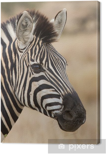 Tableau zebre nature coloré 1 tableaux sur toile portrait de zebre dans la nature belle lumiere douce de detail