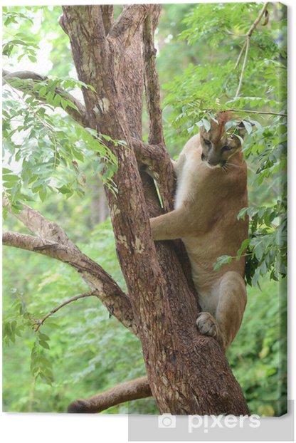 Tableau sur toile Puma escalade sur arbre - Mammifères