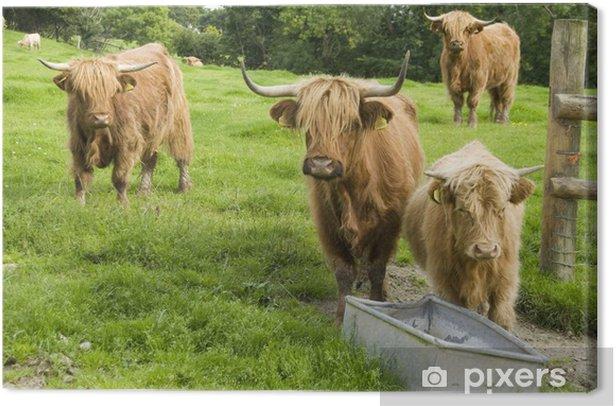 Tableau sur toile Pure Breed Highland Cattle approchant Auge, Pays de Galles - Mammifères