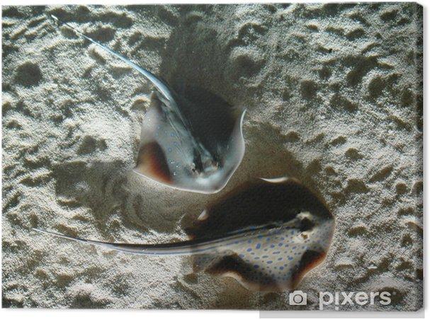Tableau sur toile Raies - Animaux marins