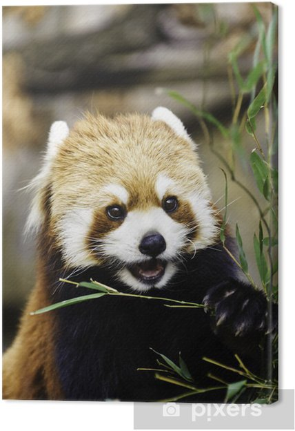 Tableau sur toile Red Panda (Lesser Panda) - Asie