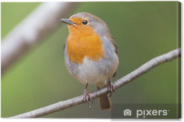 Tableau sur toile Red Robin sur une branche très proche et détaillée - Oiseaux