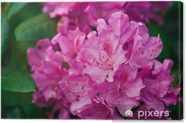 Tableau rhododendron rose 3 tableaux sur toile rhododendron