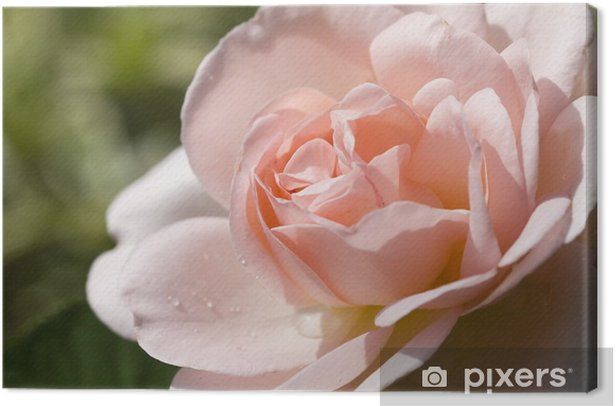 Tableau sur toile Rose 'Lilian' - Thèmes
