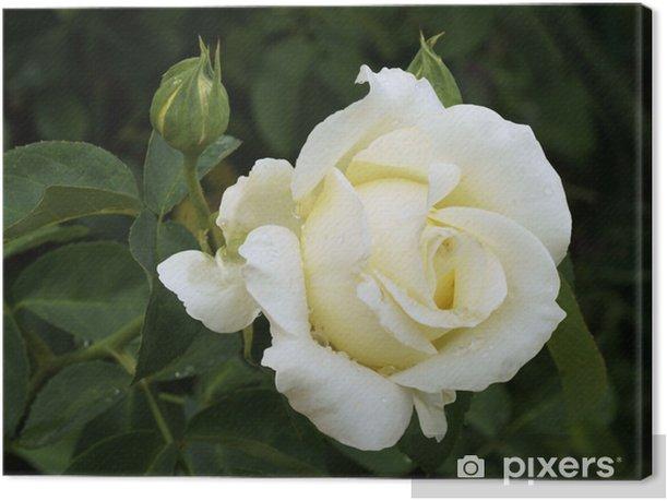 Tableau sur toile Rose blanche sur arbuste - Plantes