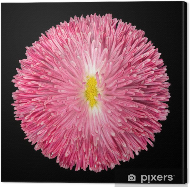Tableau Sur Toile Rose Fleur De Marguerite Vivace Isole Sur Noir