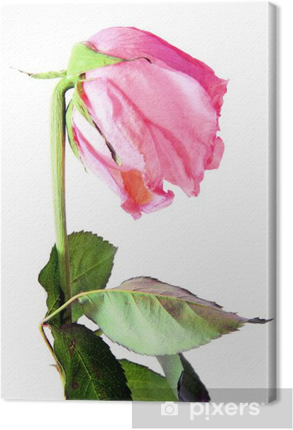 Tableau Sur Toile Rose Rose Fanee Sur Blanc Pixers Nous Vivons