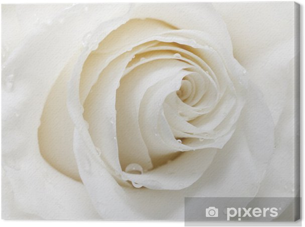 Tableau sur toile Rose white - iStaging