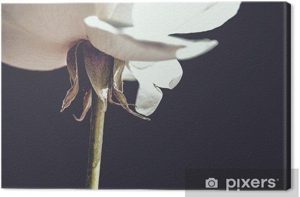 Tableau sur toile Rose white - Plantes et fleurs