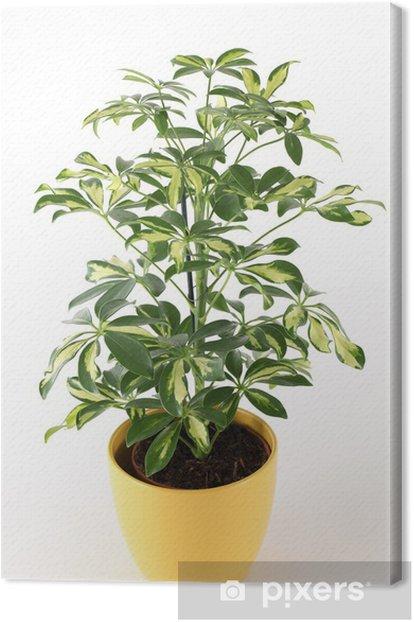 Tableau sur toile Schefflera - Plantes