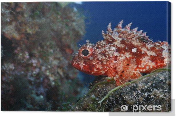 Tableau sur toile Scorpion rouge truie scorpeana Méditerranée - Sous l'eau