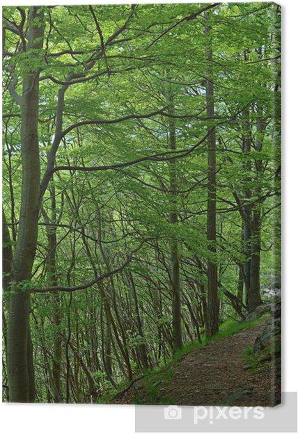 Tableau sur toile Sentier de randonnée dans la forêt de hêtres - Arbres