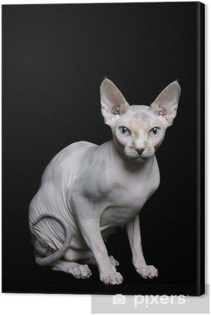Tableau sur toile Sphynx Cat - Mammifères