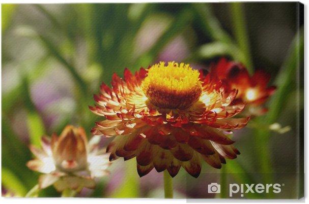 Tableau sur toile Strawflower brûlée orange, sous un soleil radieux - Fleurs