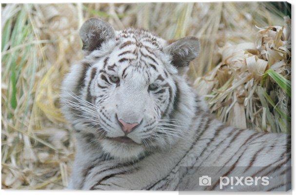 Tableau sur toile Tigre blanc a l'air jeune - Mammifères