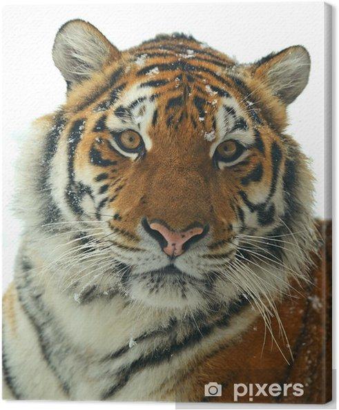Tableau sur toile Tigre de Sibérie - Mammifères