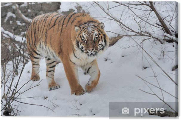 Tableau sur toile Tigre - Mammifères