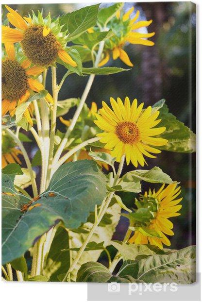 Tableau sur toile Tournesol - Fleurs