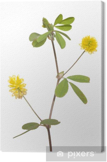 Tableau sur toile Trèfle jaune - Plantes