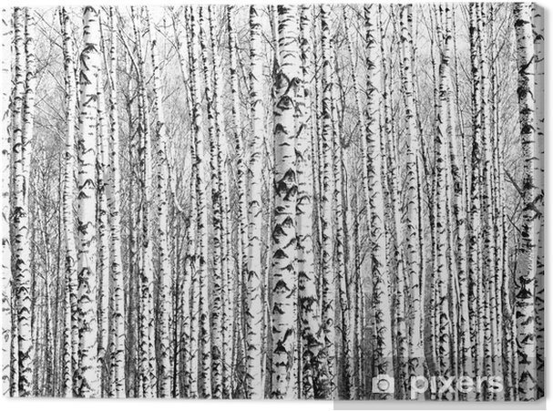 Tableau sur toile Troncs de printemps de bouleaux noir et blanc - Styles