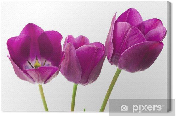 Tableau sur toile Tulipes pourpres isolé sur fond blanc - Fleurs