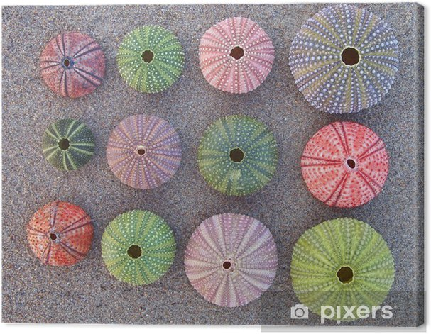 Tableau sur toile Variété de couleurs oursins sur le sable mouillé - Arrière plans