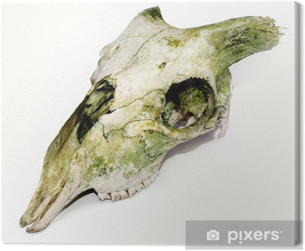 Tableau sur toile Vieux crâne animal avec les klaxons cassés contre un fond blanc - Mammifères
